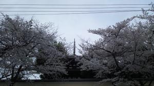 140402narasakura2